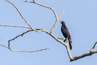 Giant Cowbird | Tordo Pirata (Molothrus oryzivorus oryzivorus)
