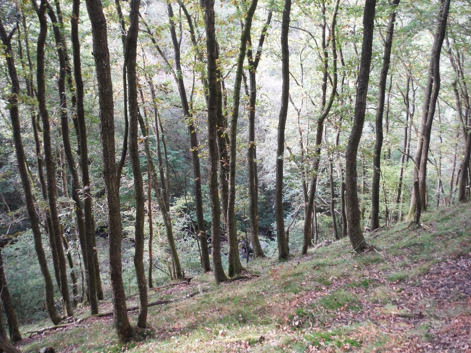 Old Trees in the Nant Llech Valley SWC Walk 280 Henrhyd Falls - Sgwd Henrhyd (Craig y Nos Circular)