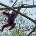 Orangutan (Clive Turnbull)
