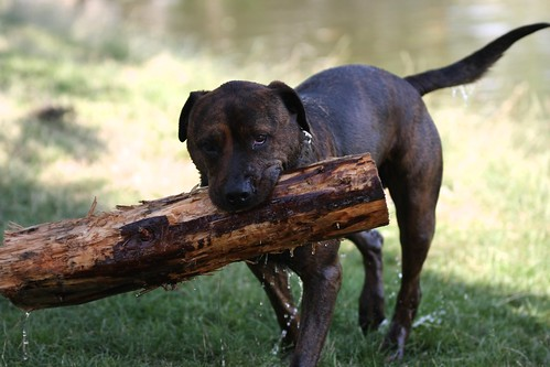 Dog with a piece of trunk