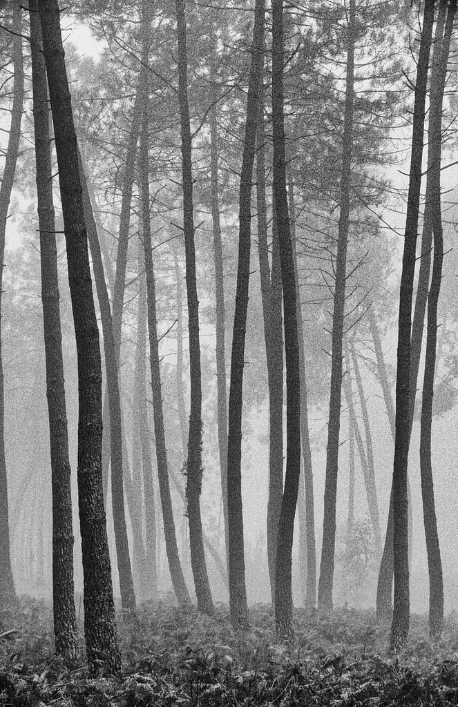 Pins et brouillard N&B