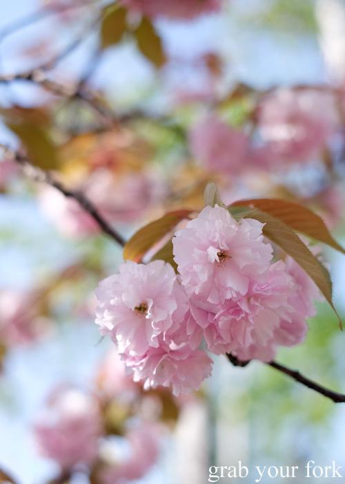 Cherry blossoms alongside Otaru Canal, Hokkaido