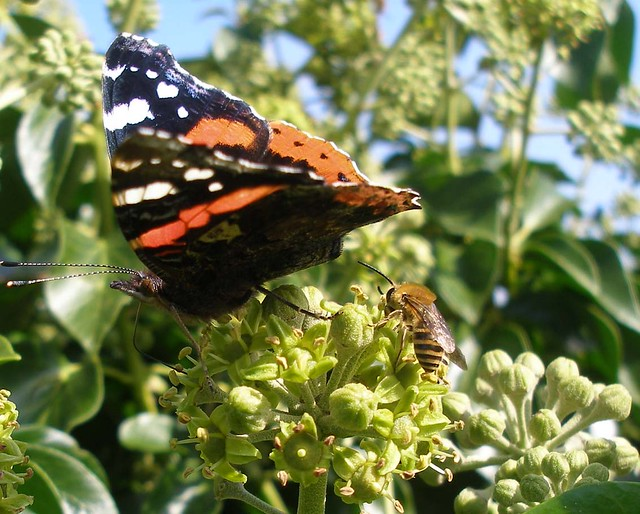 Ivy bee and red admiral