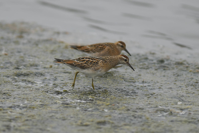 Sharp-tailed Sandpiper 09/12/15