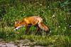 fox // sobieszewska island