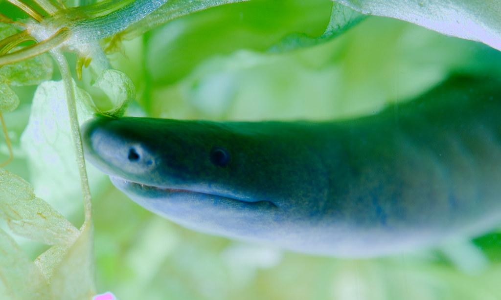 Aquatic caecilian (Typhlonectes natans)_2