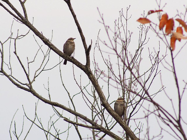 Brown-eared bulbuls (ヒヨドリ)