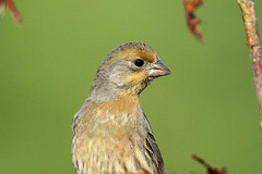 Carpodacus mexicanus ♂ (House Finch - orange form) - Everett, WA