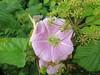 Fleurs de liseron et de lierre, Portree, île de Skye, Ross and Cromarty, Highland, Ecosse, Royaume-Uni