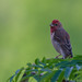 Common Rosefinch (Tim Melling)