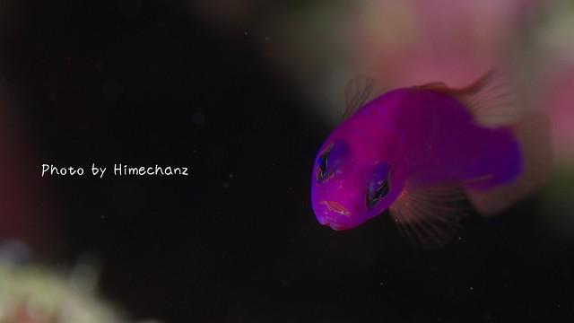 クレナイニセスズメ。海の中では青いです。