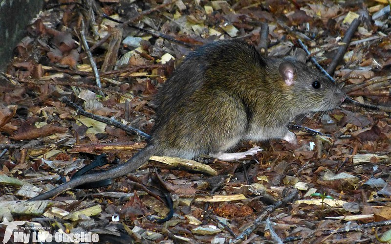 P1150587 - Brown Rat