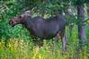 Early Morning Moose (Part 1) by brady tuckett
