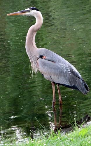 Heron at SUNY New Paltz Pond