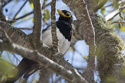 Solvang, CA: Yellow-billed Magpie
