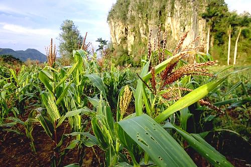 Field of corn growing on a farm in Cuba