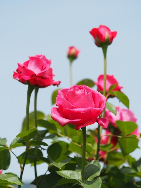 Photo:Rose, Koigokoro, バラ, 恋心, By T.Kiya