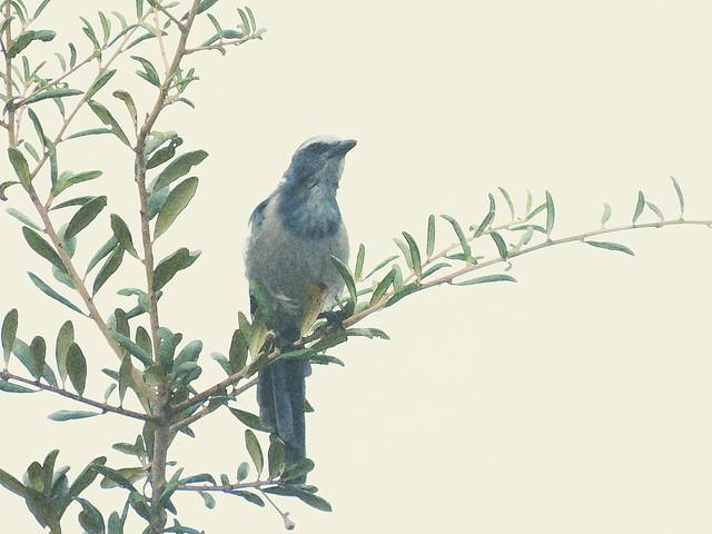 Florida Scrub-Jay