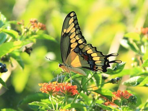 Giant Swallowtail original 20151101