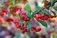 Bessen / Berries / Baies /