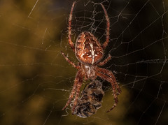 "Cross Spider  (Araneus diadematus) by ""சிலம்பொலி"" Arun"