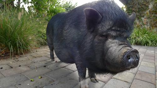 Pig Giro di Vino 2015_0492