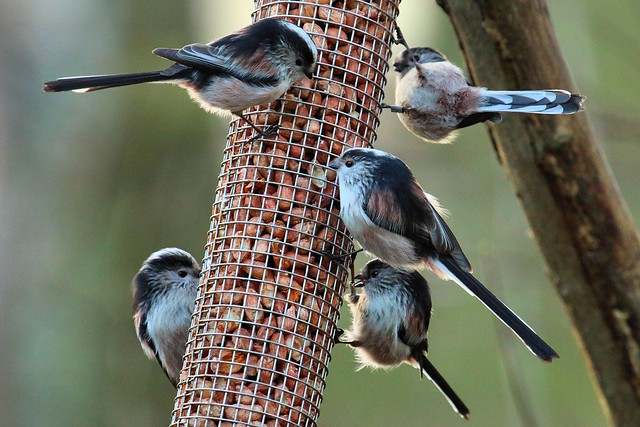 Long Tailed Tits Feeding