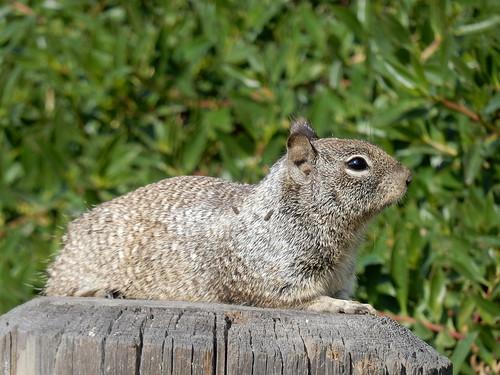 Carlsbad Village - ground squirrel