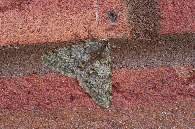 Pale Brindled Beauty