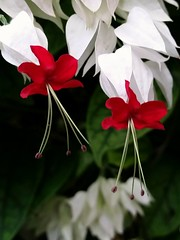 Clerodendrum thomsonaie - African Bleeding Heart Vine