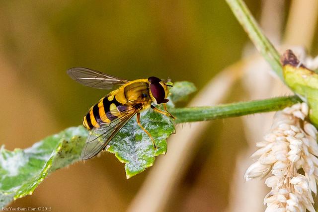 Hoverfly (Syrphus ribesii)
