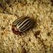 Leptinotarsa decemlineata (Colorado beetle) by Lapommangels