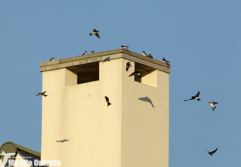 P1150416 - House Martins, Machynys