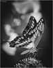 Butterfly // Papilio Cresphontes // B/W by Christian Papagni