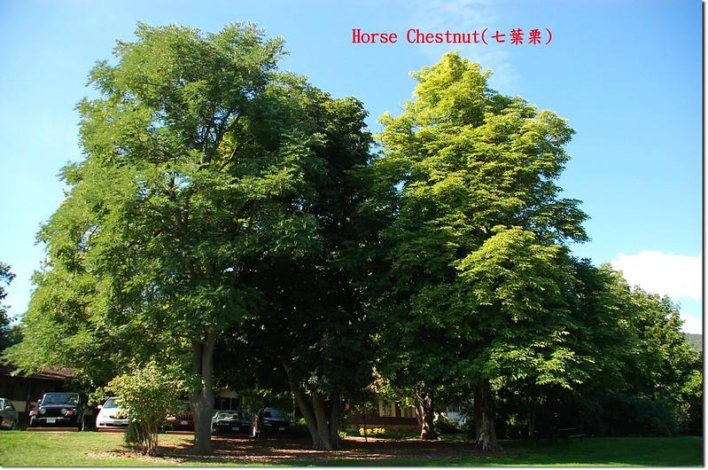 Horse Chestnut(七葉樹)~全株 1