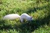 Albino Squirrel - Washington DC