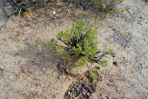 Pelargonium karooicum