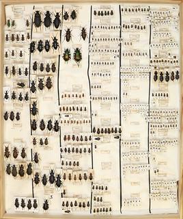 Gösta Gillerfors, Coleoptera