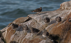 Surfbirds and a Black Turnstone