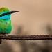 Green Bee-eater (Merops orientalis) by Kinan Echtay ... So busy