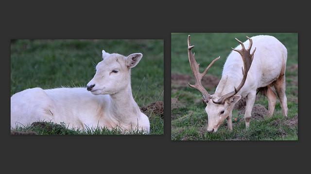 Biche et cerf blancs du Parc et forêt de Boutissaint