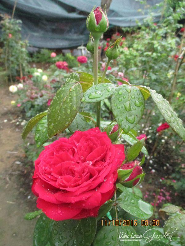 hoa hong leo red eden rose (3)-vuonhongvanloan.com