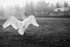 Among The Swans No 2