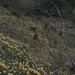 Coed y Bwl. Daffodil wood