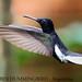 (Species# 850b) BLACK JACOBIN HUMMINGBIRD - [ Iguazu, Argentina ] by tinyfishy's World Birds-In-Flight