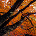 Japan#265_Burning maple by DanÅke Carlsson