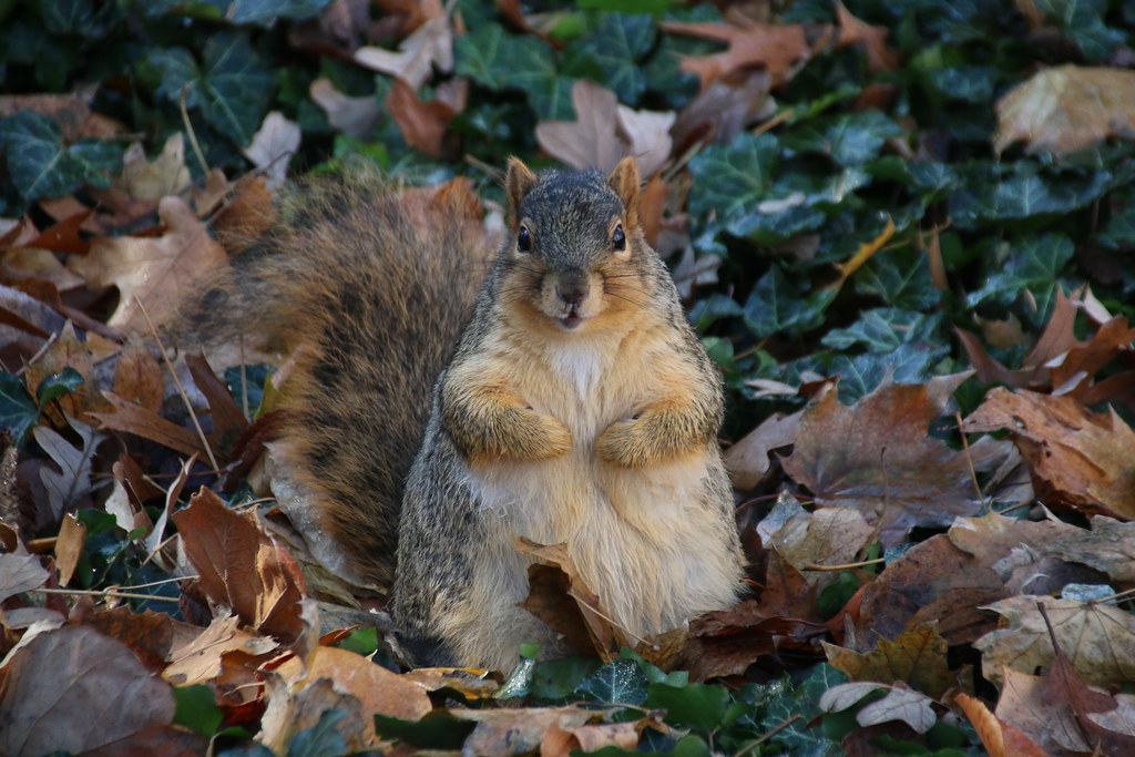 Squirrels in Ann Arbor at the University of Michigan (November 30, 2016)