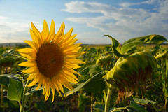 Sunflower field in Bas et Lezat - Photo of Saint-Priest-d'Andelot