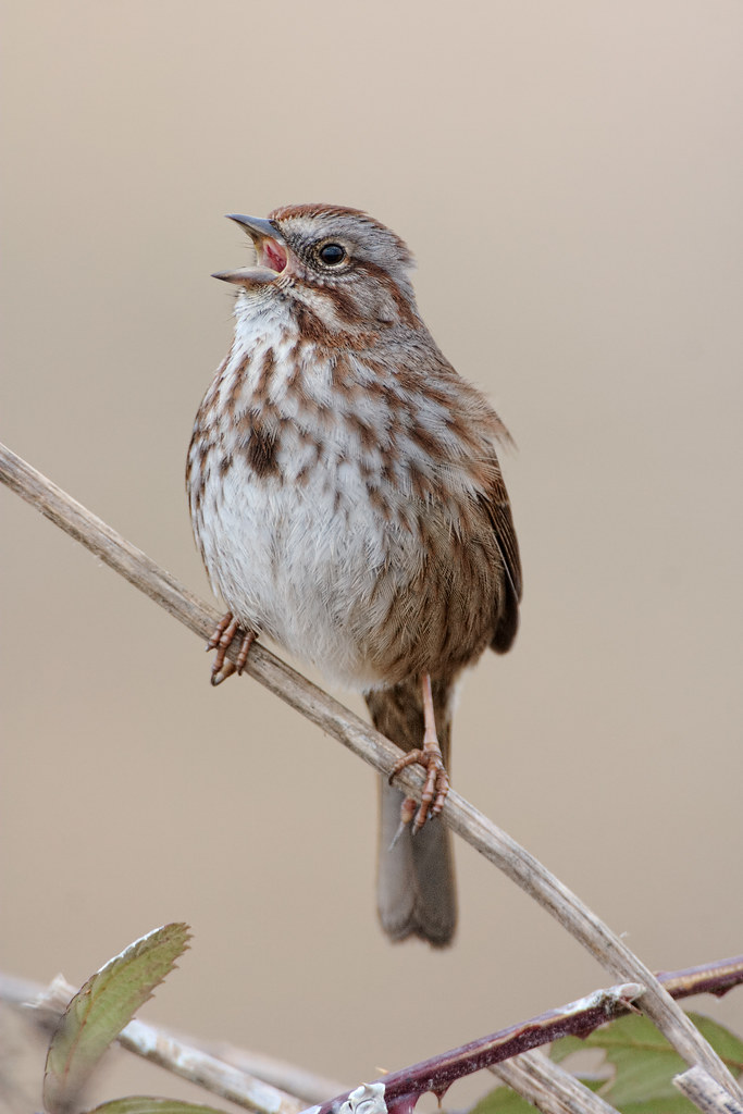 A song sparrow sings while perching above a blackberry bush