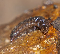 Collembola of Whitsunday Shire